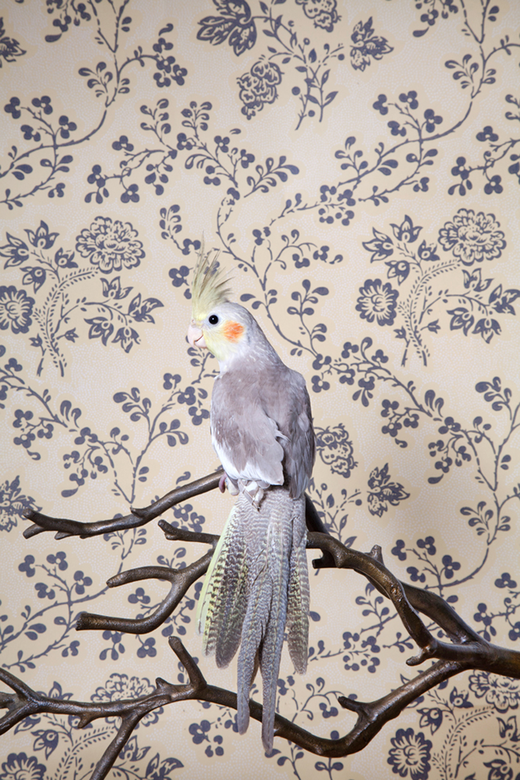 Claire Rosen | Grey Cockatiel in front of a Vintage Wallpaper