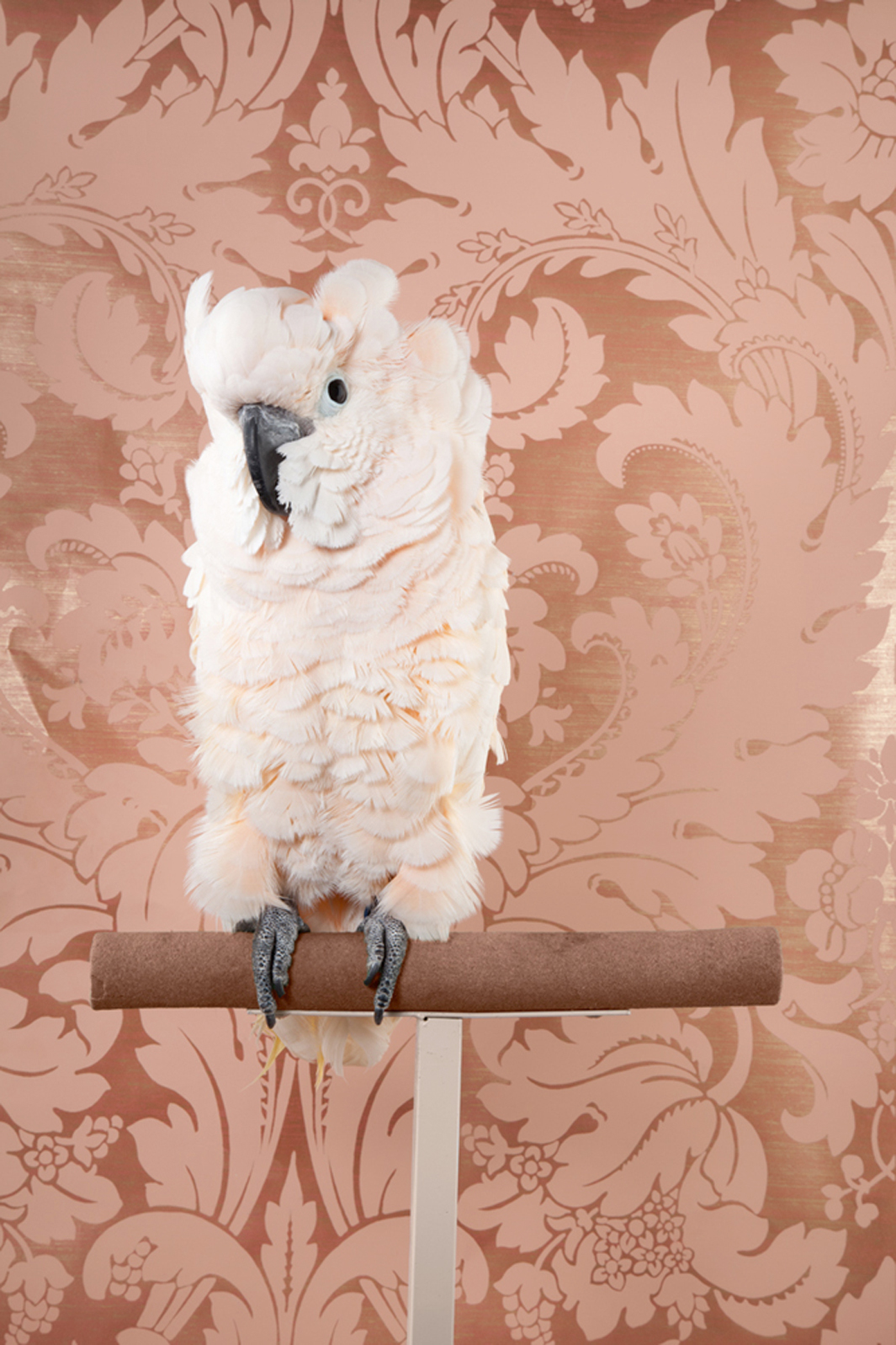Claire Rosen | Moluccan Cockatoo in front of a Vintage Wallpaper
