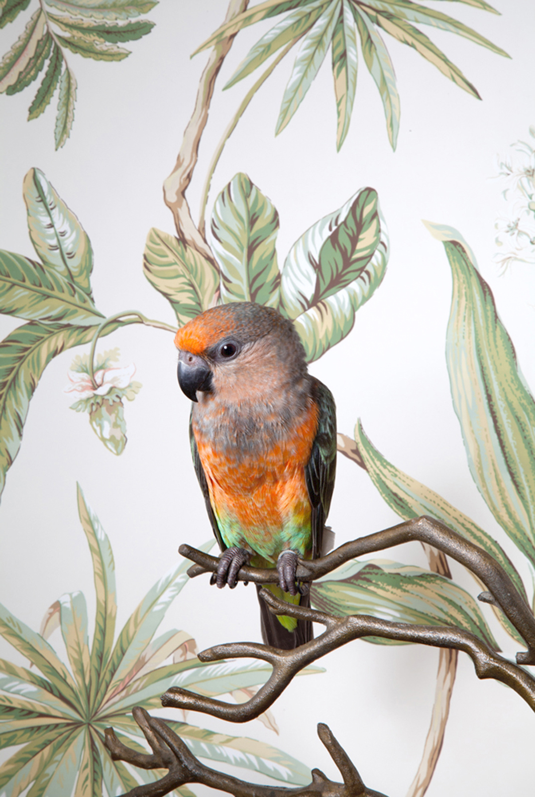 Claire Rosen | Red Bellied Parrot in front of a Vintage Wallpaper