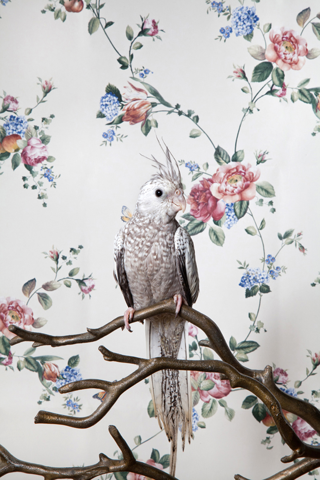 Claire Rosen | White Faced Hurled Cockatiel in front of a Vintage Wallpaper